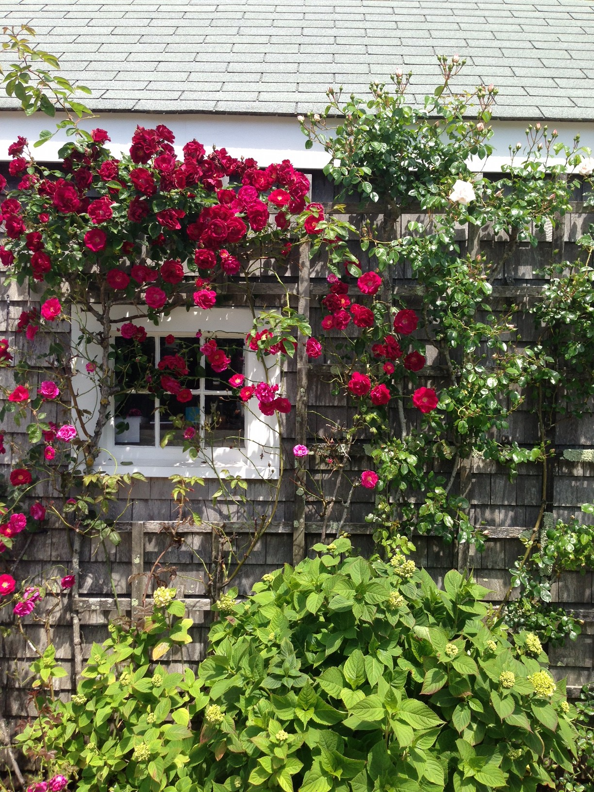 Roses In Garden: Climbing Roses And Their Support Structures, Planting