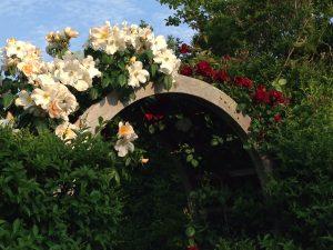 Roses_Climbing_TwoVarietiesShareArbor