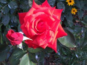 Roses_DollyParton_HybridTea_2