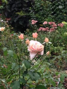 Roses_MotherOfPearl_Grandiflora_DiseaseResistant