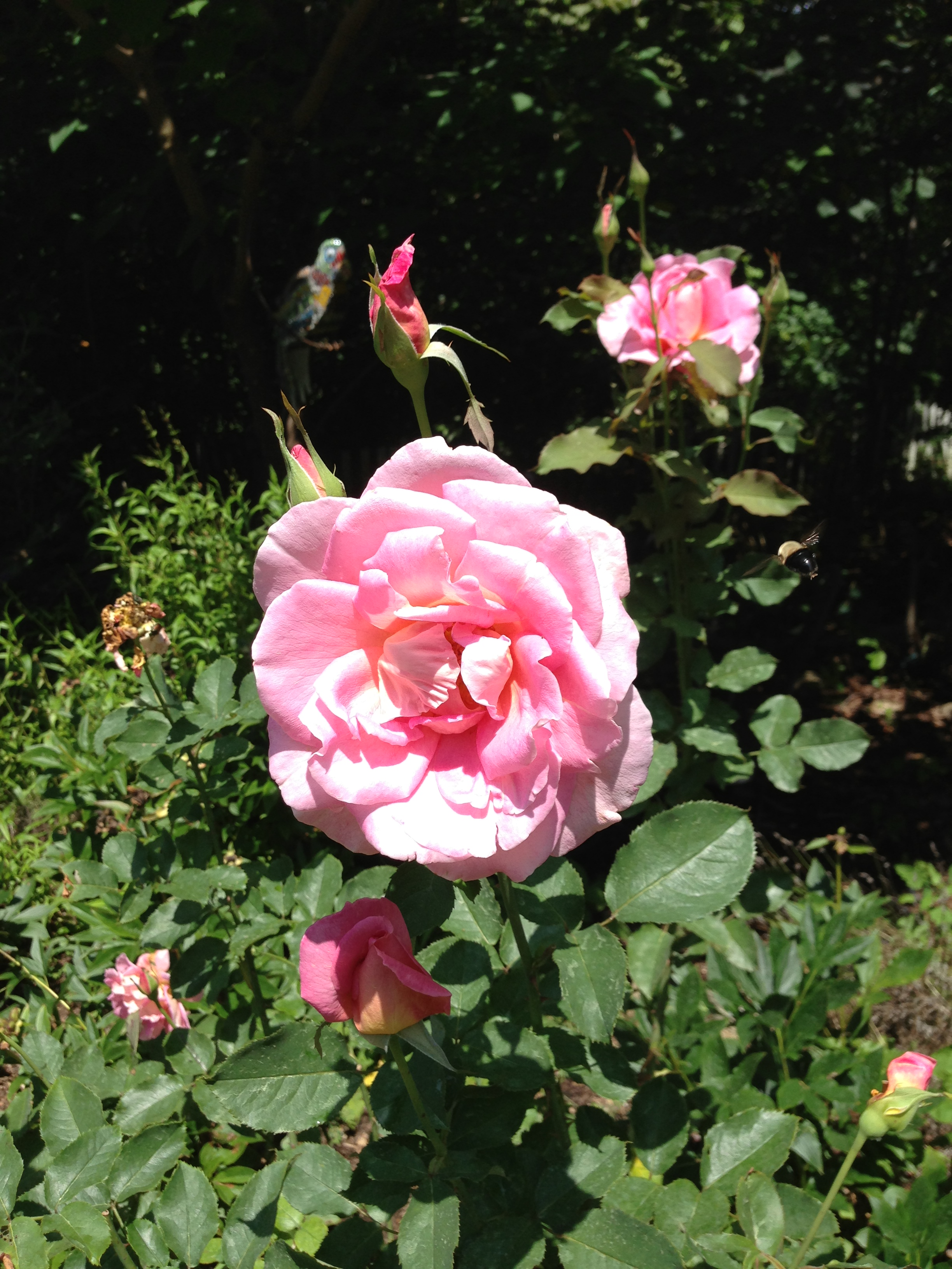 Roses In Garden: Disease-resistant Garden Roses Are New On The Market