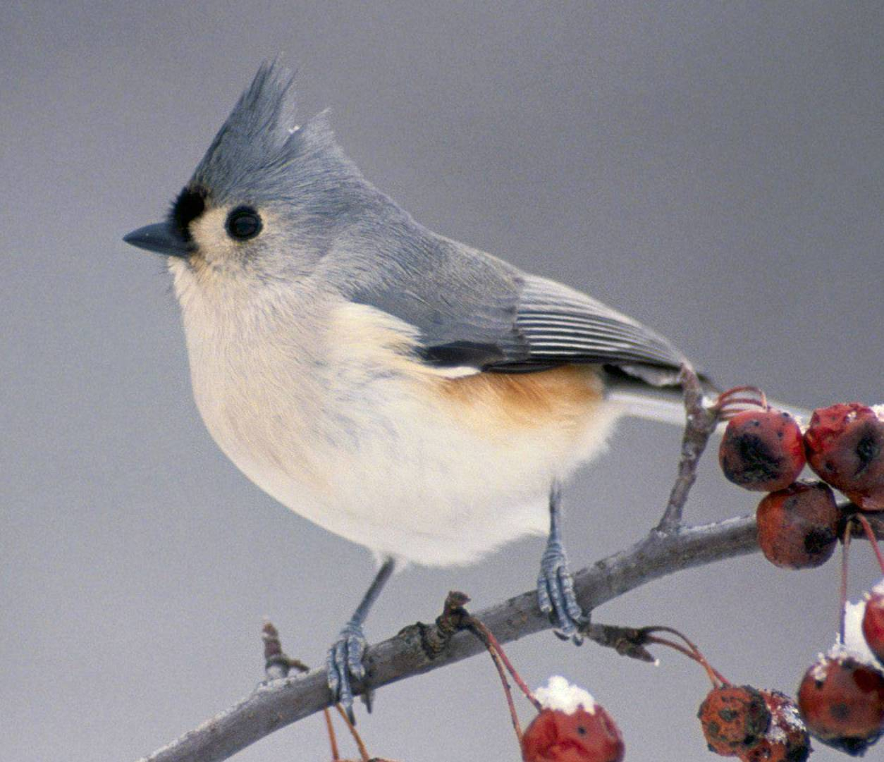 Birds common to Western North Carolina