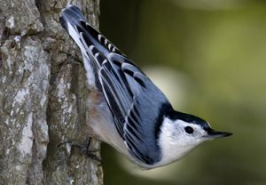 White-breastedNuthatch