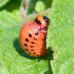 ColoradoPotatoBeetle-larvae