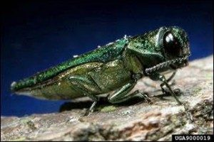 Image of emerald ash borer adult by David Cappaert, Michigan State University, Bugwood.org.
