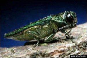 Image of emerald ash borer adult by David Cappaert, Michigan State University, Bugwood.org.