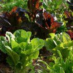 Lettuce Varieties_byLucy Bradley_NCSU Extension