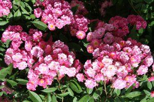 Roses_Belinda_HybridMusk