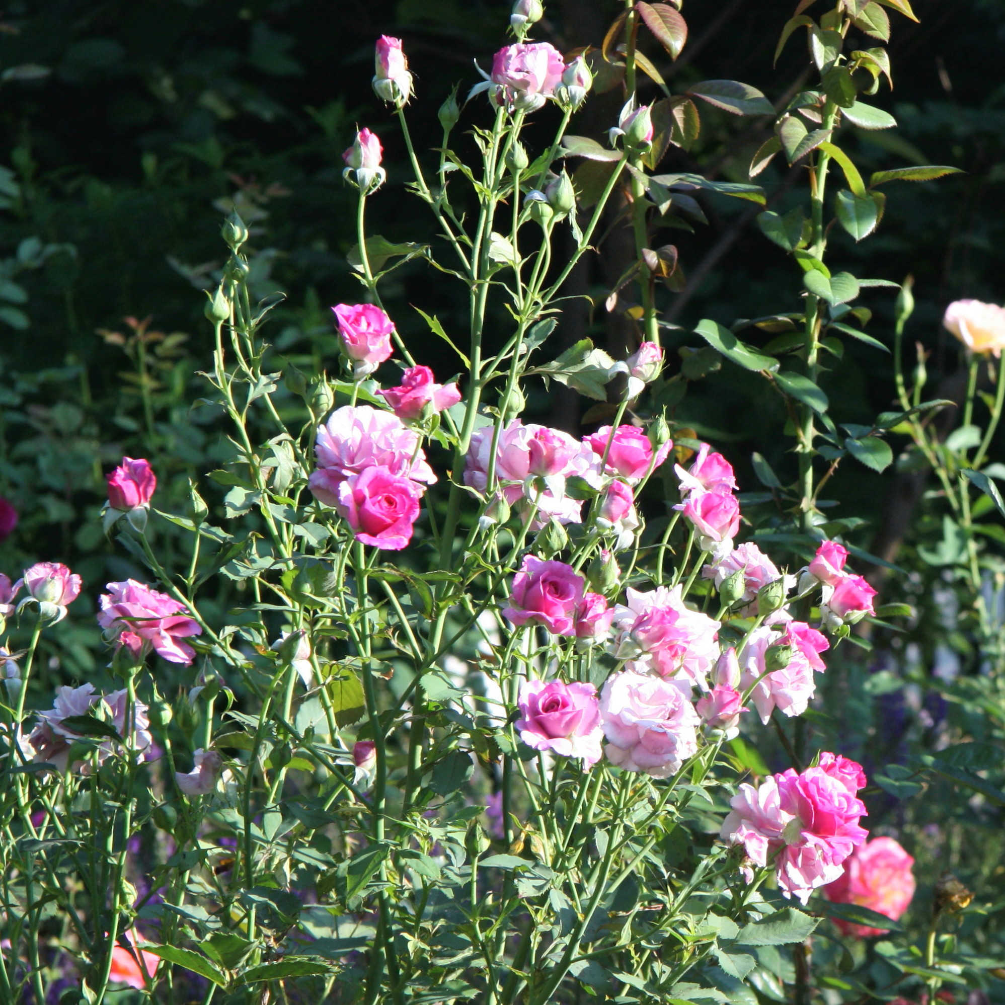Fragrant roses and what causes the rose scent