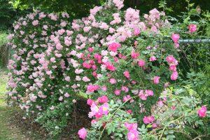 Roses_Pinkie_ClimbingPolyantha