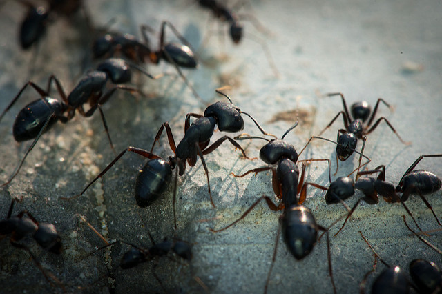 Ants in house insects preventing household ants for Big black ants in my bathroom
