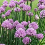 Flowering chives.