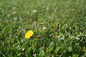 Dandelion weed in lawn
