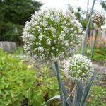 Flowering onion.