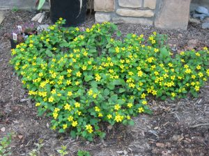 Ground cover: Green-and-Gold (Chrysogonum virginianum)