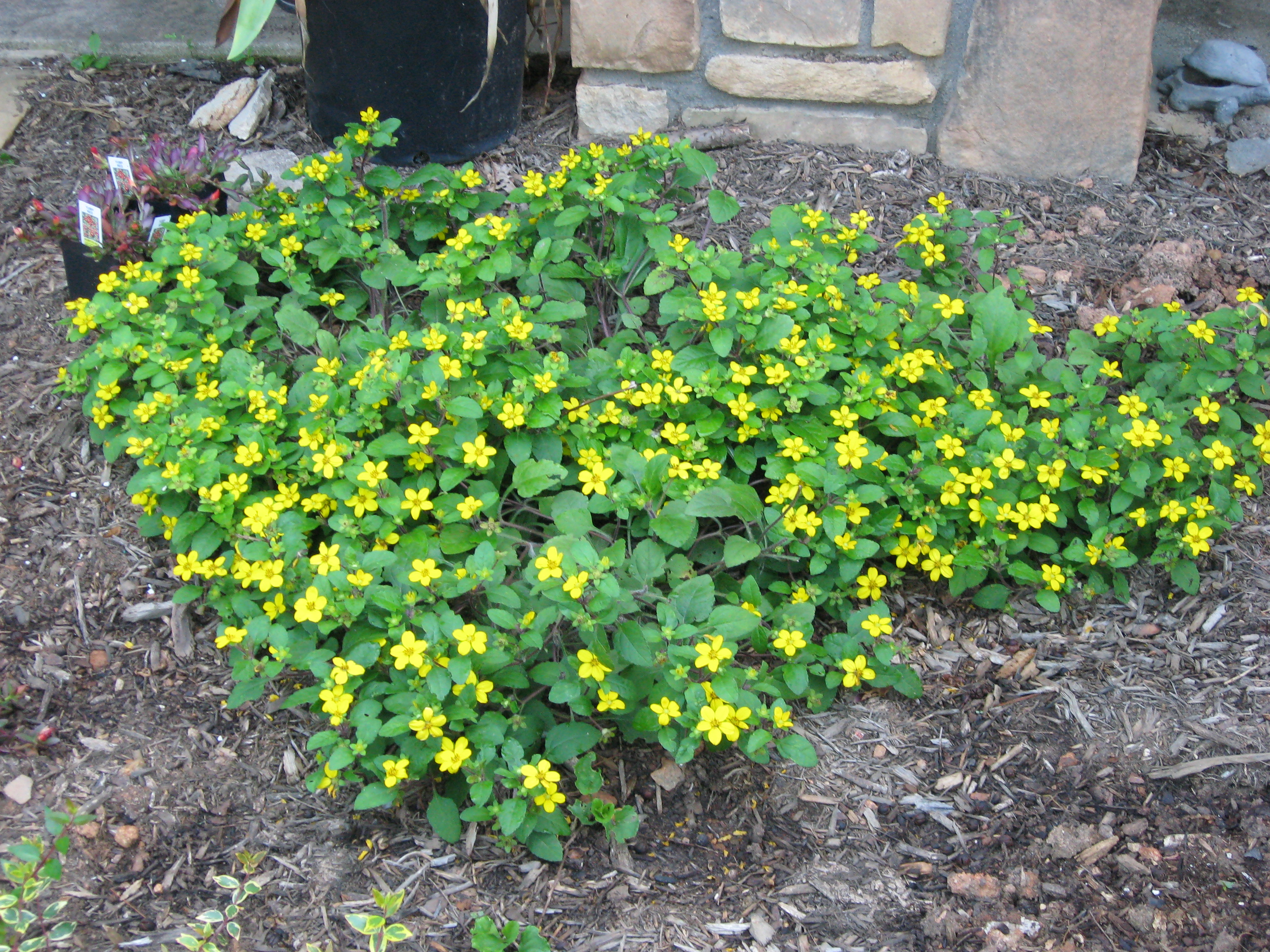 How to plant ground cover on steep bank - Ground Cover Green And Gold Chrysogonum Virginianum