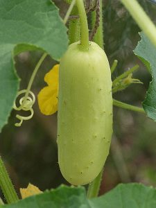 Cucumber 'Poona Kheera'_by TangledBranches_CC-BY-NC 2.0_Flickr