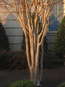 Potomac 04 Crape myrtle trunks_Jeremy Cherfas_CC BY-NC-ND 2.0_Flickr