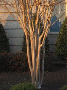 Potomac 04 Crape myrtle trunks_Jeremy Cherfas_CC BY-NC-ND 2.0_Flickr