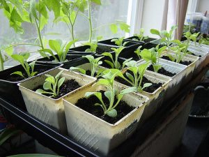 Petunia seedlings_Satrina0_CC BY-NC-ND 2.0