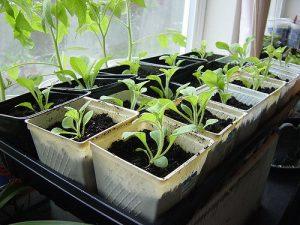 Petunia seedlings_Satrina0_CC BY-NC-ND 2.0