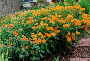 Butterfly weed (Asclepia tuberosa)_Mark Levisay_CC BY 2.0_Flickr