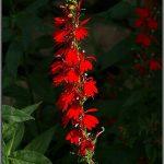 Cardinal Flower (Lobelia cardinalis)_Jame_CC BY 2.0_Flickr