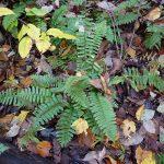 Christmas Fern (Polystichum acrostichoides)_NatureServe_CC BY-NC 2.0_Flickr