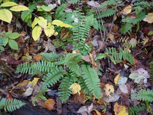 Christmas Fern (Polystichum acrostichoides)_NatureServe_CC BY-NC 2.0_Flickr