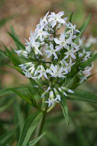 Eastern Bluestar (Amsonia tabernaemontana)_John Brandauer_CC BY-NC-ND 2.0_Flickr