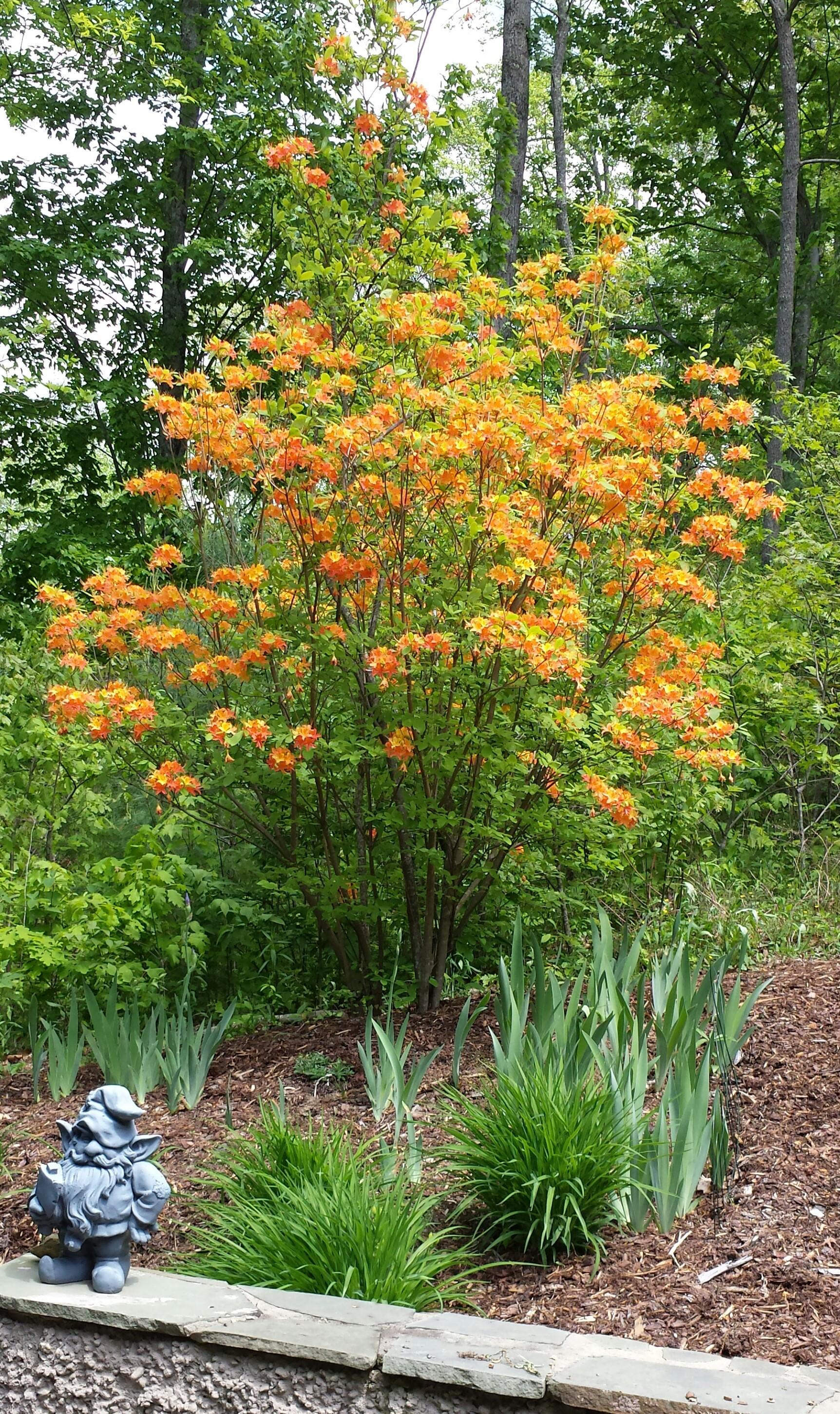 Flowering Shrubs Extension Master Gardener Volunteers Of