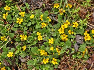 Green and Gold (Chrysogonum virginianum)_J Michael Raby_CC BY-NC-ND 2.0_Flickr