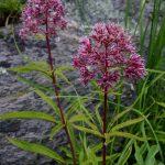 Joe Pye Weed (Eutrochium fistulosum)_Fritz Flohr Reynolds_CC BY-SA 2.0_Flickr