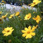 Lanceleaf Tickseed (Coreopsis lanceolata)_Jenny Evans_CC BY-NC 2.0_Flickr