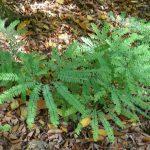 Northern Maidenhair Fern (Adiantum pedatum)_Kent McFarland_CC BY-NC 2.0_Flickr