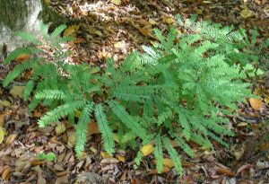 Northern Maidenhair Fern (Adiantum pedatum)_Kent McFarland_CC BY-NC 2.0_Flickr