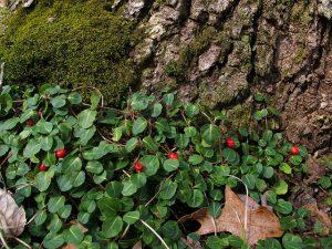 Partridgeberry (Mitchella repens)_Per Verdonk_CC BY-NC 2.0_Flickr