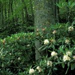 Rosebay Rhododendron_Jim Dollar_CC BY-NC 2.0_Flickr