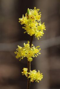 Spicebush_Philip Bouchard_CC BY-NC-NC 2.0_Flickr