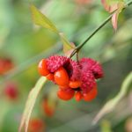 Strawberry bush_Euonymous americanus_Robert Mitchem_CC BY-NC 2.0_Flickr