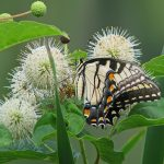 Tiger Swallowtail In Buttonbush_Vicki DeLoach_CC BY-NC-NC 2.0_Flickr