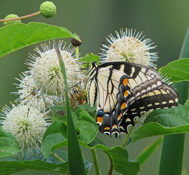 Los arbustos florecientes nativos agregan color e interés al jardín durante todo el año.