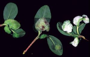 Azalea leaf gall - three stages of development. Photo by James H. Blake, courtesy of Clemson University Extension.