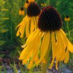 Echinacea paradoxa_dbarronoss_CC BY-NC-ND 2.0_NCSU