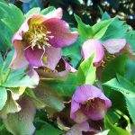 Hellebore_amdougherty_CC BY-NC-ND 2.0_Flickr