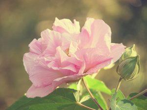 Hibiscus mutabilis 'Confederate Rose'_Virginia Sanderson_CC BY-NC-ND 2.0_Flickr