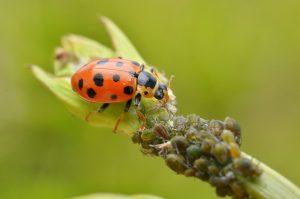 Ladybug_Hippodamia tredecimpunctata_Gilles San Martin_CC BY-SA 2.0_Flickr