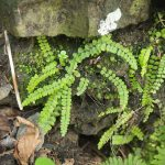 Maidenhair Spleenwort, Asplenium trichomanes_J.Maughn_CC BY-NC 2.0_Flickr