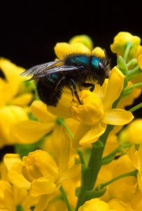 Mason Bee_US Dept of Ag_CC BY 2.0_Flickr