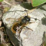 Mason bee (Osmia rufa)_bramblejungle_CC BY-NC 2.0_Flickr